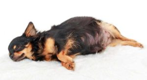 Do You Know How to Take Care of a Pregnant Dog